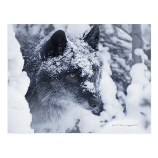 Einsamer Wolf im Schnee Postkarte