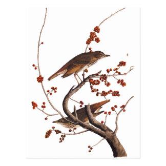 Einsiedler-Drossel Audubon Vogel mit roten Beeren Postkarte