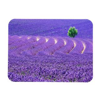 Einziger Baum auf dem Lavendel-Gebiet, Frankreich Magnet