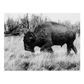 Einziger Büffel Postkarte