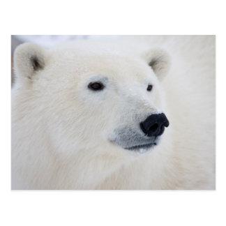 Eisbär Churchill Postkarte