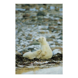 Eisbär CUB mit Mutter Poster