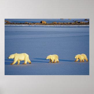 Eisbär mit zwei CUB Poster