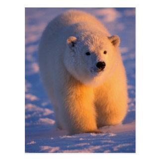 Eisbär, Ursus maritimus, Junges auf dem Satz Postkarte