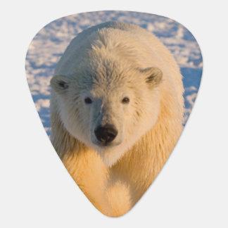 Eisbär, Ursus maritimus, polar betreffen Eis Plektrum