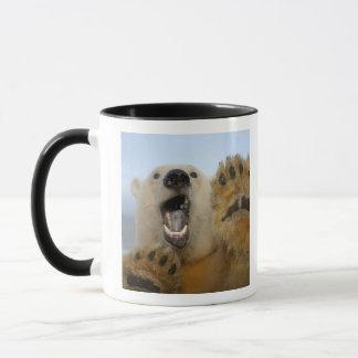 Eisbär, Ursus maritimus, schaut neugierig in 2 Tasse