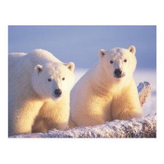Eisbärsau mit Jungem auf Packeise von 1002 Postkarte