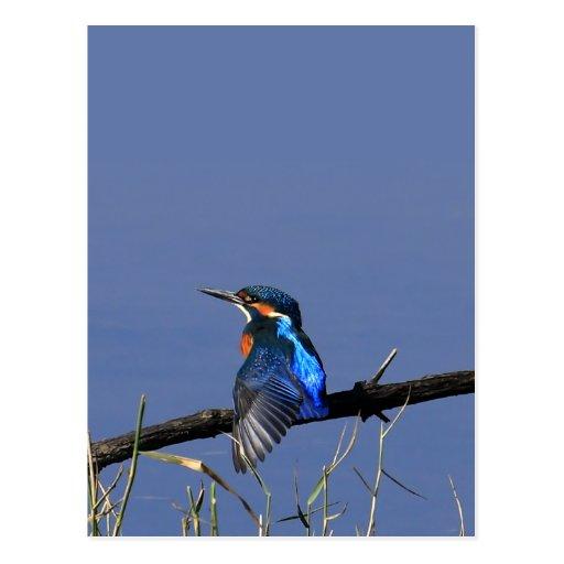 Eisvogel-Postkarte