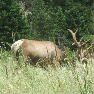 Elche, die in Colorado weiden lassen Ausschnitte