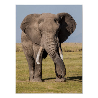 Elefant in einer aggressiven Pose Poster