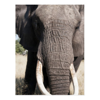 Elefant (Loxodonta africana), Abu Lager 3 Postkarte