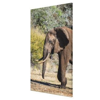 Elefant mit den langen Stoßzähnen Leinwanddruck