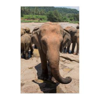Elefantgruppenporträt, Sri Lanka Acryldruck
