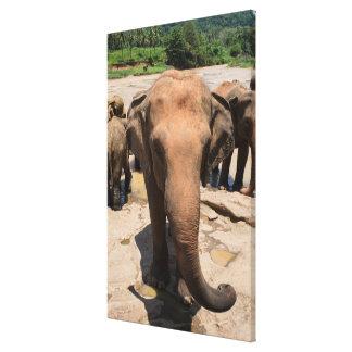 Elefantgruppenporträt, Sri Lanka Leinwanddruck