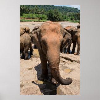 Elefantgruppenporträt, Sri Lanka Poster