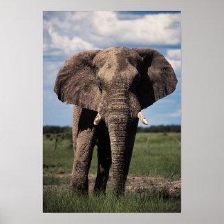Elefantjungemann Poster