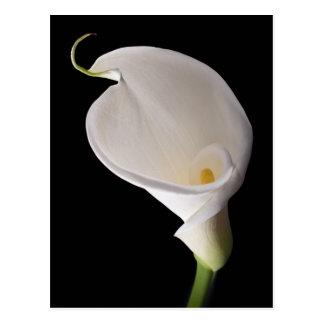 Elegante weiße Callalilie Postkarte