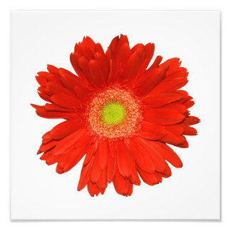 Eleganter orange Gänseblümchen-Foto-Druck