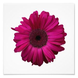 Eleganter rosa Gerbera-Gänseblümchen-Foto-Druck