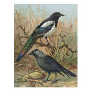 Elster-und Dohlen-Vintage Vogel-Illustration Postkarten