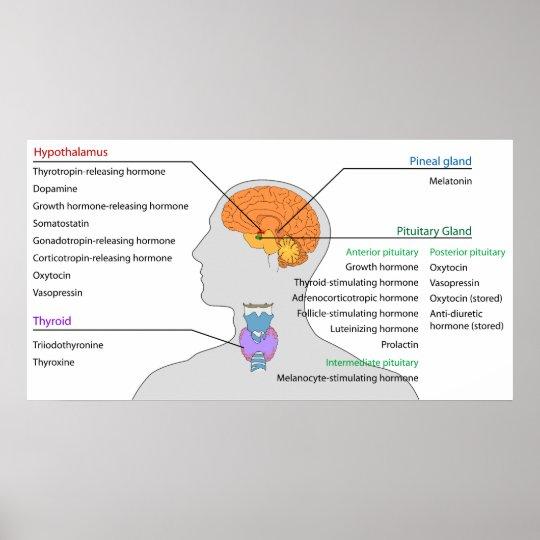 Endokrine Drüsen u. Hormone des Kopfes und des Poster | Zazzle