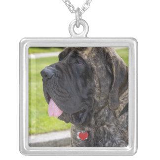 Englisch Mastif Hund in Bryon, Ohio Versilberte Kette