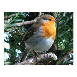 Englisch Robin in einer Kiefer Postkarten