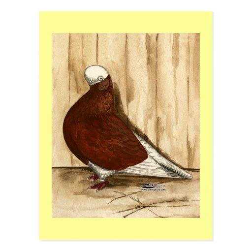 Englisch Shortfaced kahle Taube Postkarten