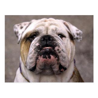 Englische Bulldoggen-Hündchen-Raum-Postkarte Postkarte