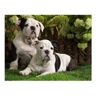 Englische Bulldoggen-Welpen Postkarte