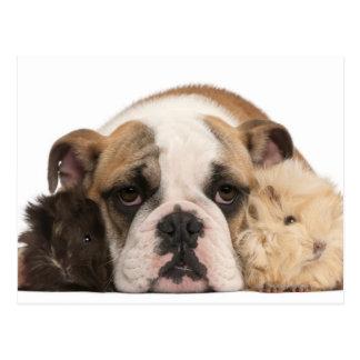 Englischer Bulldoggenwelpe (4 Monate alte) und Postkarten