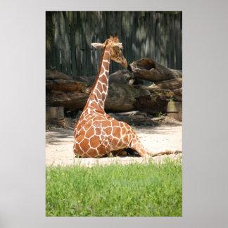 Entzückende sitzende Giraffe Poster