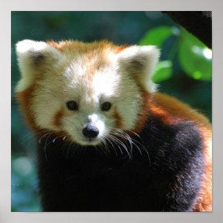 Entzückendes roter Panda-Plakat Poster