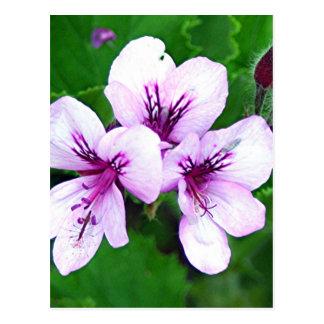 Erblassen Sie - die rosa u. lila Pelargonie-Blumen Postkarte