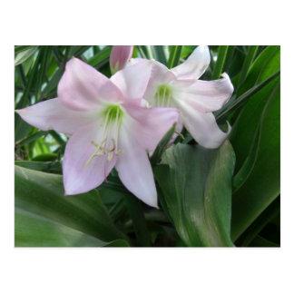 Erblassen Sie - rosa Crinum Lilien 3 Postkarte