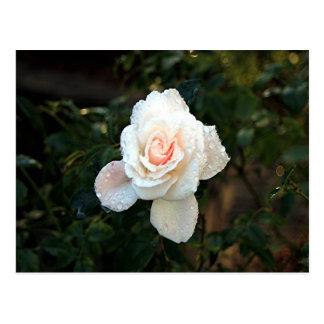 Erblassen Sie - Rosa u. SahneRose u. Regentropfen Postkarte