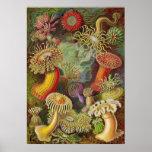 Ernst Haeckel - Actiniae Anemonen Posterdrucke