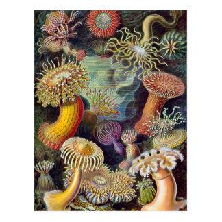 Ernst Haeckel - Actiniae Postkarte
