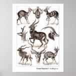 Ernst Haeckel Antilopina mit Grenze Poster