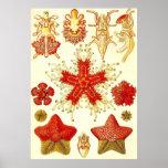Ernst Haeckel - Asteridea Plakat