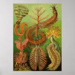 Ernst Haeckel - Chaetopoda Plakat