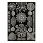 Ernst Haeckel - Diatomea2 Plakatdrucke