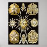 Ernst Haeckel - Echinidea Plakat