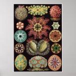 Ernst Haeckel-Kunst-Druck: Ascidiae Posterdruck