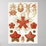Ernst Haeckel-Kunst-Druck: Asteridea Plakatdrucke
