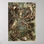 Ernst Haeckel-Kunst-Druck: Batrachia Posterdrucke