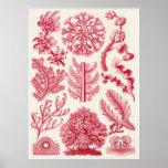 Ernst Haeckel-Kunst-Druck: Florideae Plakatdruck