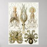 Ernst Haeckel-Kunst-Druck: Gamochonia Poster