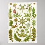 Ernst Haeckel-Kunst-Druck: Leberblümchen Posterdrucke