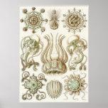 Ernst Haeckel-Kunst-Druck: Narcomedusae Plakatdruck